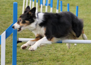 Agility with Cara Canine Physio